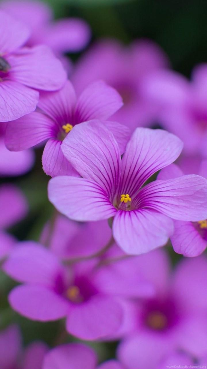 Oxalis Beautiful Flowers Wallpapers Hd Download For Desktop Desktop Background