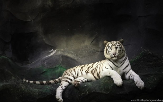 white tiger images hd shareimages co