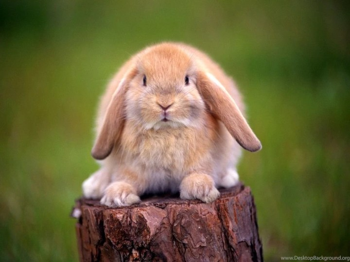 Cute Rabbit Wallpapers Mobile Desktop Background