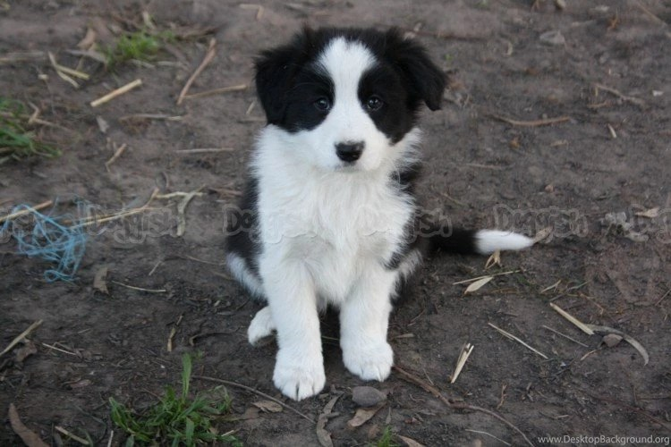 Purebred Collies Adoption