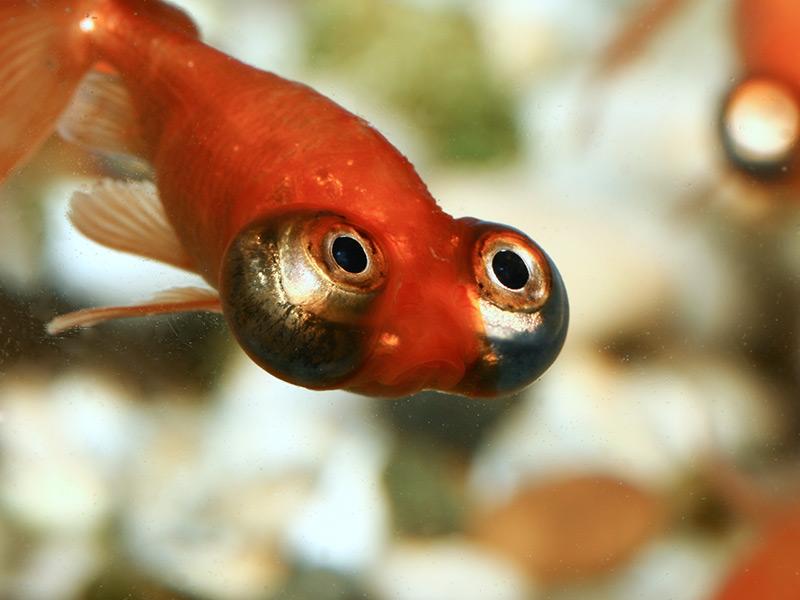 Desktop Goldfish