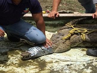 Personal que participó en el operativo mientras procede a retirar del lugar a un cocodrilo.