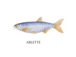 poissons de nos rivières - Rustica