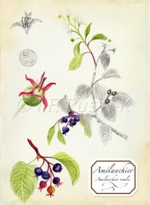 amelanchier ovalis