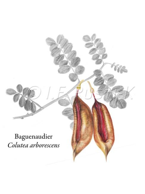 baguenaudier