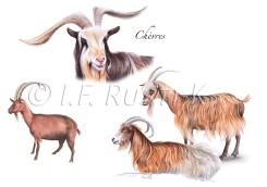 dessins de chèvres