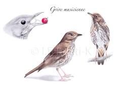 dessin oiseau, illustration