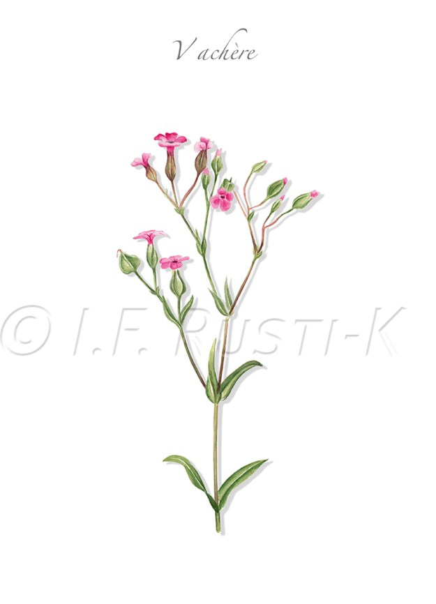 plante messicole; caryophyllacées; saponaire des vaches; vaccaire d'Espagne