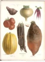 legumes racine , illustration