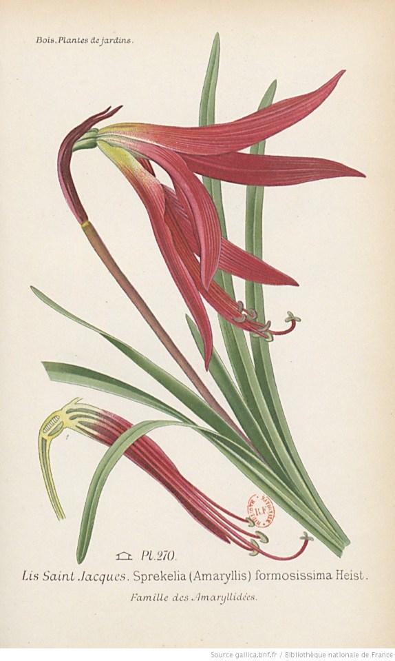 planche illustrée de Lis de St Jacques