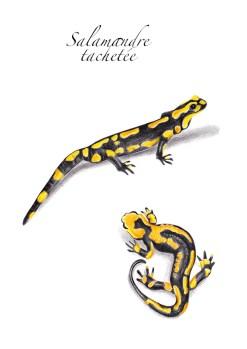animaux de la mare - la salamandre