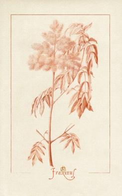 dessin à la sanguine d'un branche de frêne