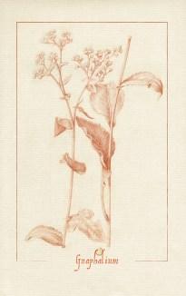 dessin à la sanguine d'une gnaphale