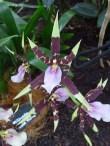 orchidee6