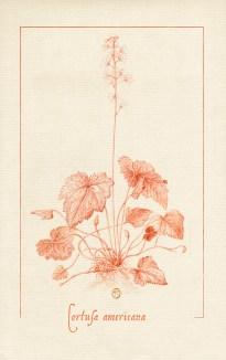 sanguine botanique