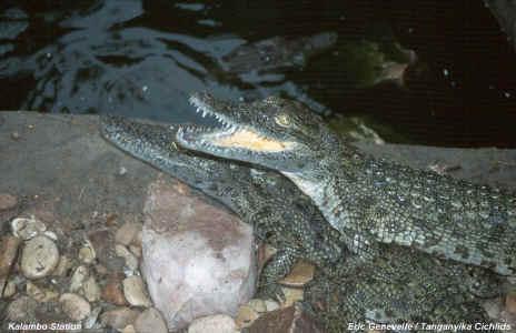 Crocodilus niloticus.