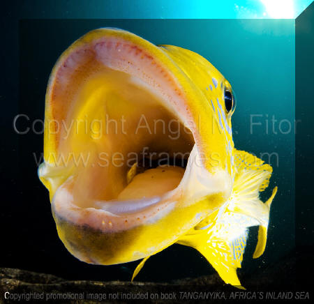 Boulengerochromis | Tanganyika, Africa's Inland Sea.