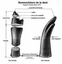 Nomenclature de la dent de cichlidé.