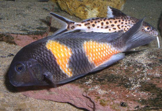 Tropheus sp. bulu point par Patrick TAWIL.