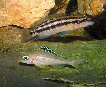 Julidochromis dickfeldi et Xenotilapia papilio.
