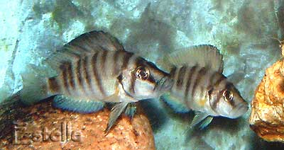 "couple d'Altolamprologus sp. compressiceps ""shell"""