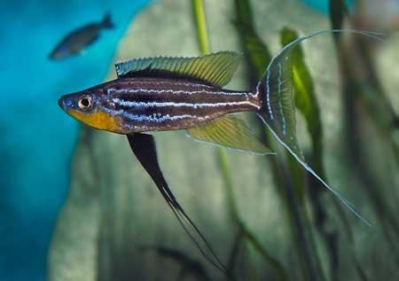 Benbthochromis au magasin Abysse à Champigny sur Marne