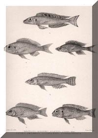 Paracyprichromis nigripinnis, Limnochromis auritus, Reganochromis calliurus, Enentiopus melanogenys, Ophthalmotalapia boops, Aulonocara trematocephalum.