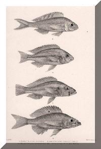 Haplochromis vittatus, Xenotilapia ornatipinnis, Trematocara unimaculatum, Protomelas pleurotaenia.
