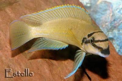 Chalinochromis brichardi mâle.