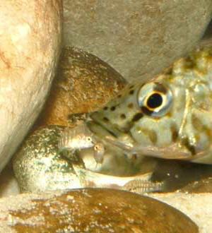 C. horie -femelle et alevins-.