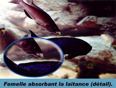 Laitance du Cyprichromis leptosoma kitumba.