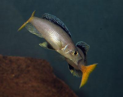 Cyprichromis leptosoma, mâles combattant en se mordant.