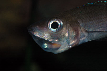 Cyprichromis leptosoma, femelle incubante.