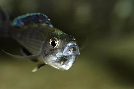 Cyprichromis leptosoma, femelle a terme de son incubation buccale.