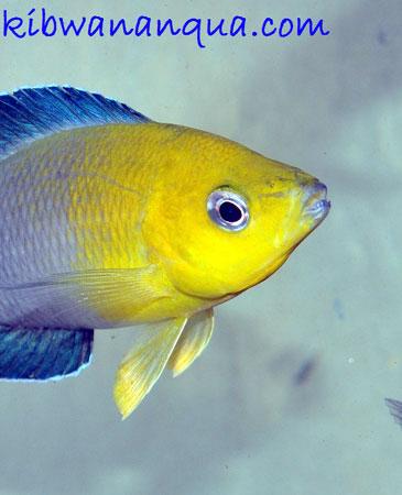 Cyprichromis sp. jumbo de Mpimbwe en aquarium à Dar es Salaam.