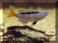 Cyprichromis leptosoma, fond d'écran, bureau, cichlidé du lac Tanganyika.