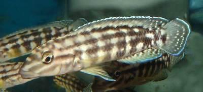 Julidochromis marlieri ( Burundi )