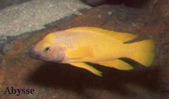 Neolamprologus leleupi (gorge noire).