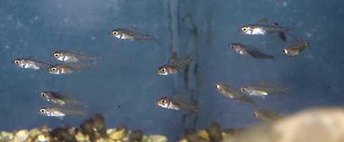 Lestradea perspicax, banc d'alevin en aquarium.