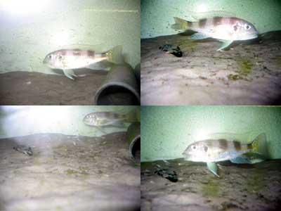 Limnochromis auritus (adultes et alevins).