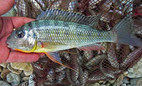 Limnnotilapia dardennii (récolté au nord Congo).