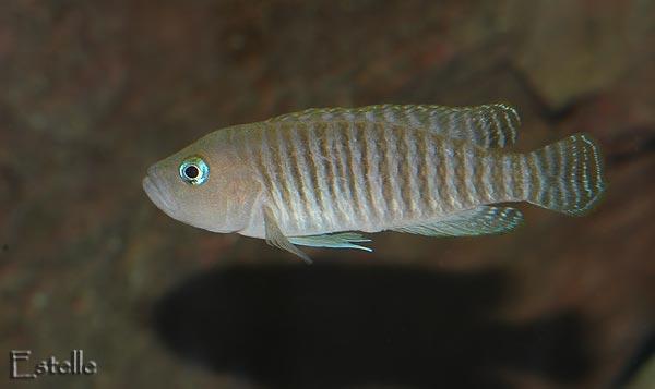 Neolamprologus multifasciatus