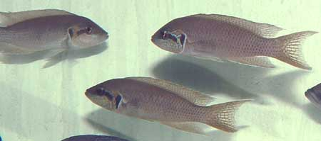 Neolamprologus brichardi (Bulu point).