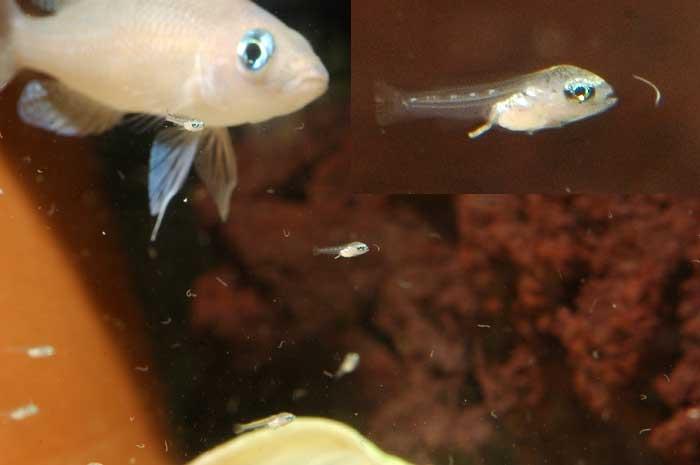 Neolamprologus caudopunctatus attrapant un micro-vers.