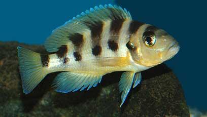 Neolamprologus sexfasciatus.