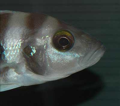 Neolamprologus sexfasciatus bleu de Zambie.