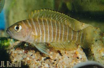 Neolamprologus similis, adulte.