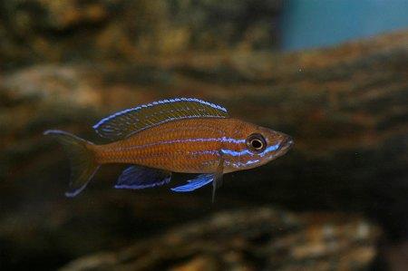 Paracyprichromis nigripinnis.