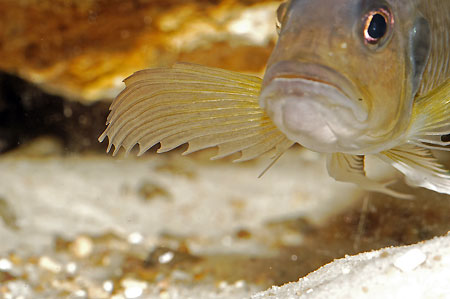 Triglachromis otostigma, détail des rayons pectoraux.