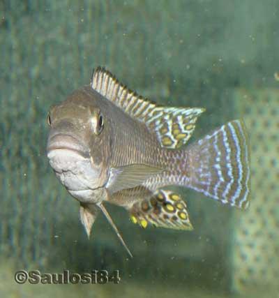 Petrochromis famula.